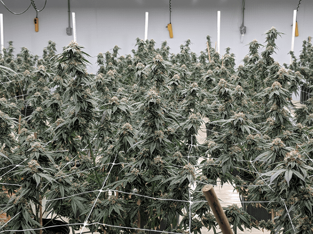 Here are four Canadian ventures that are capitalizing on cannabis