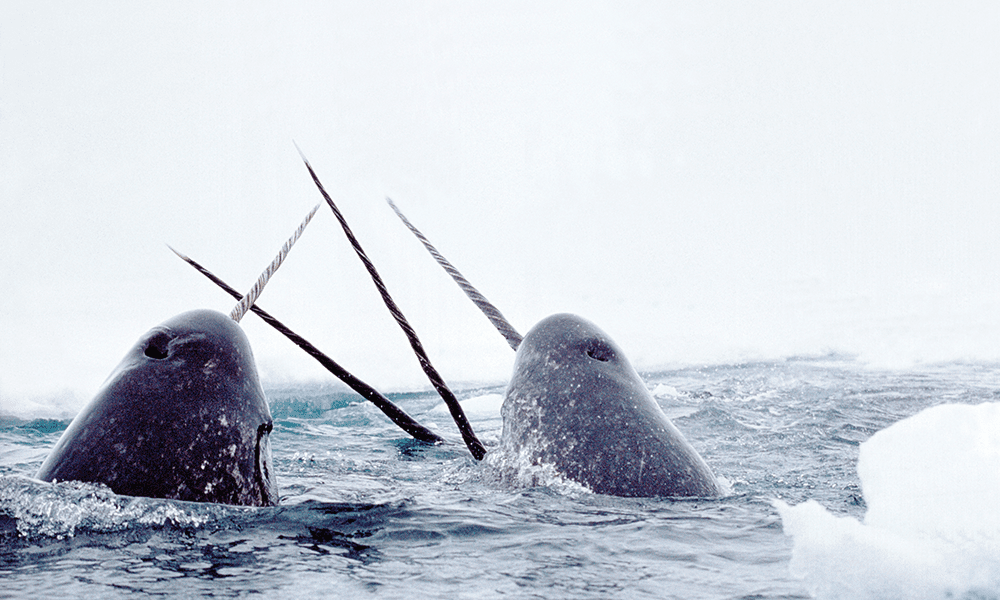 Canada's narwhals are gaining on US unicorns